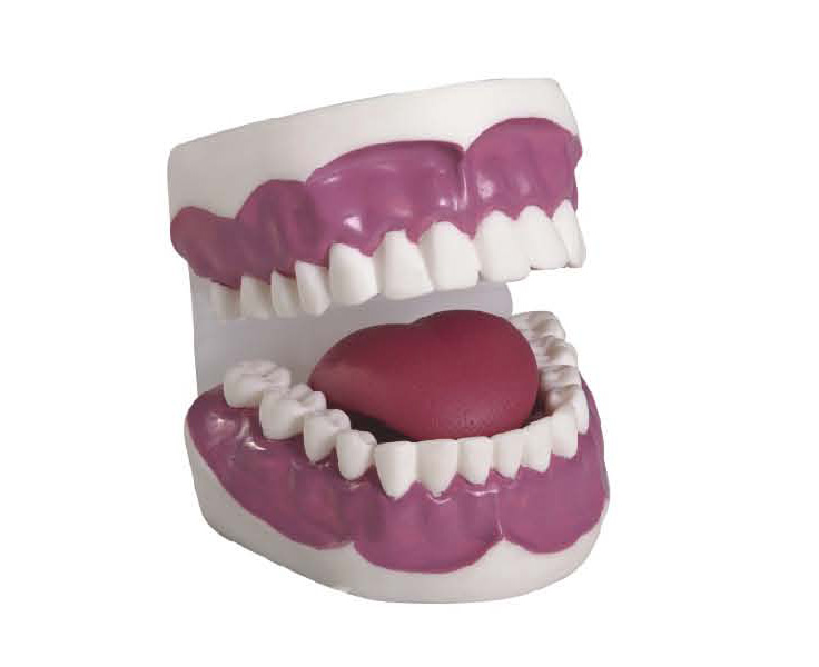 KAR/K2 Dental Care Model(28pcs)